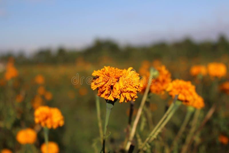 I fiori del tagete o localmente conosciuto As fotografie stock libere da diritti