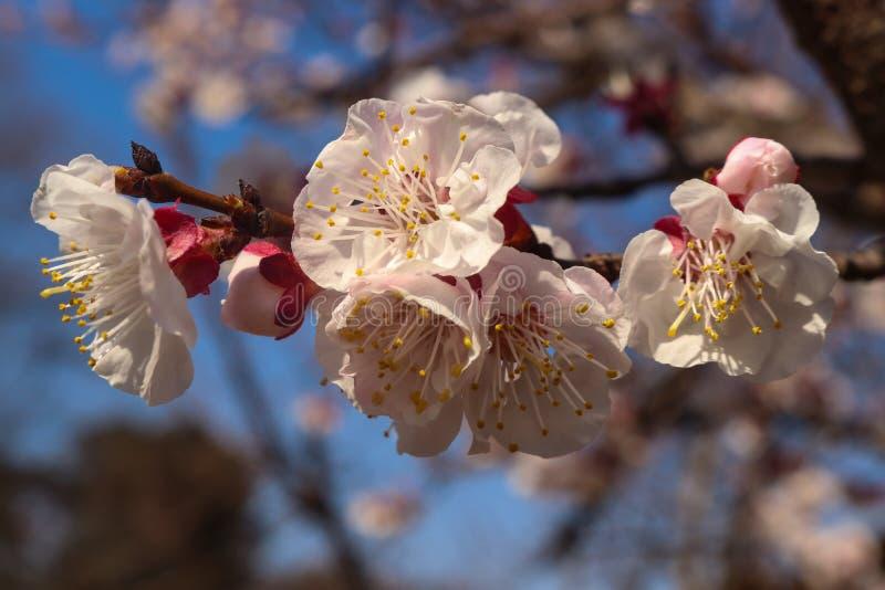 I fiori dell'albicocca della primavera si chiudono su con fondo unfocused del cielo e dell'albero fotografia stock