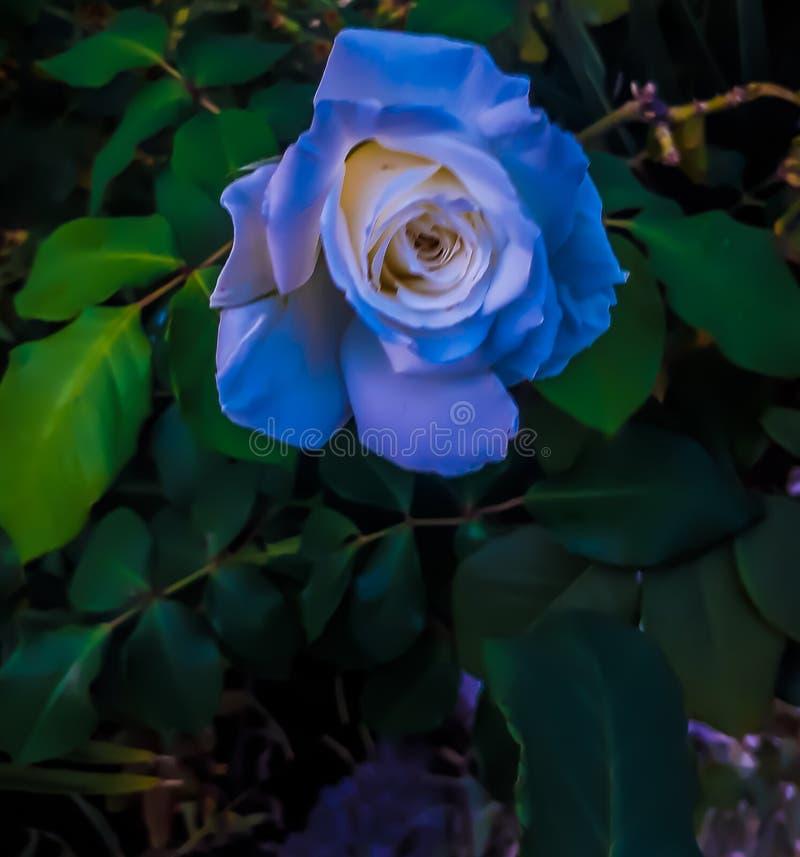 I fiori dell'azzurro fotografia stock