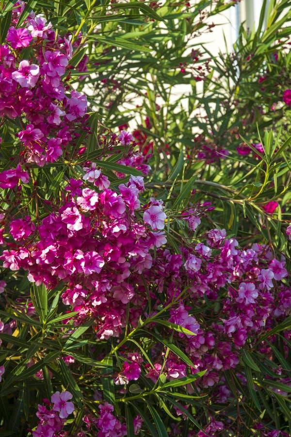 I fiori dell'oleandro imbussolano il Clima subtropicale dell'estate della fioritura fotografie stock libere da diritti