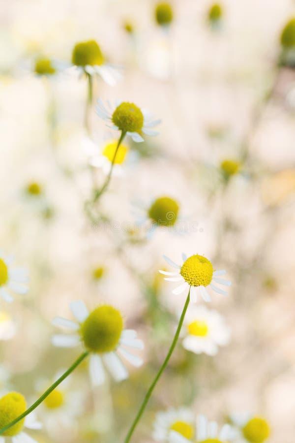 I fiori della camomilla abbelliscono, fondo verde del fiore fotografie stock libere da diritti