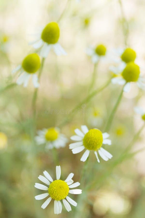 I fiori della camomilla abbelliscono, fondo verde del fiore Spazio della copia per testo, verticale fotografia stock libera da diritti