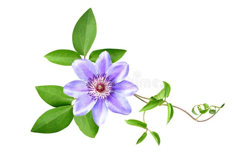 I fiori della clematide è isolato fotografia stock