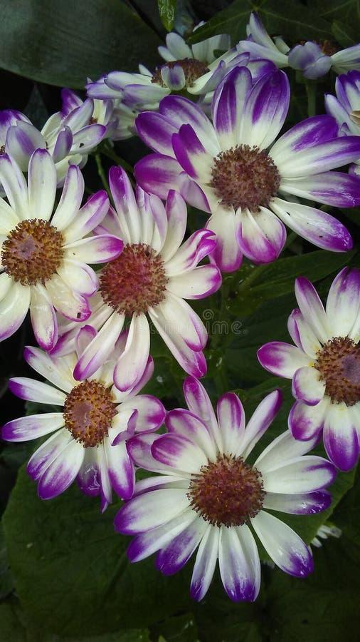 I fiori della Legame-tintura di porpora fotografia stock
