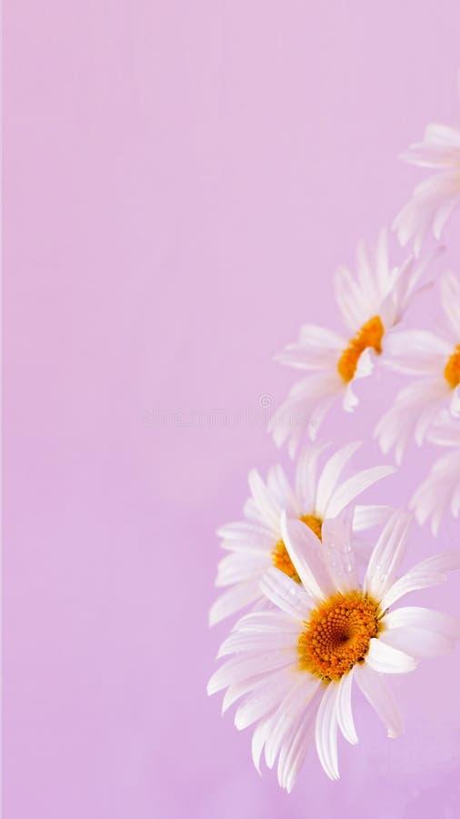 I fiori della margherita si chiudono in su con le gocce dell'acqua fotografia stock libera da diritti