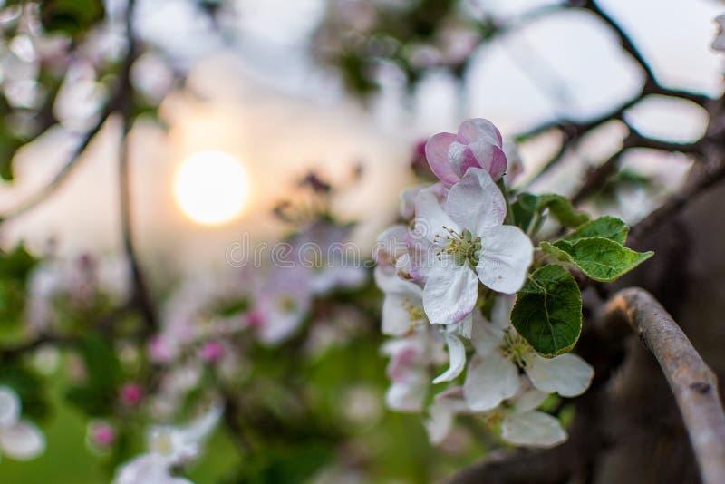 I fiori di Apple stanno sbocciando durante il tramonto immagine stock