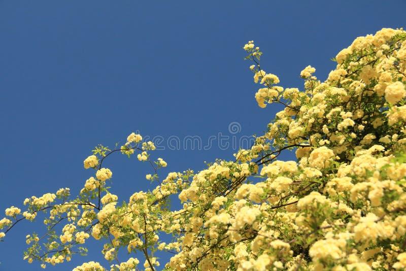 I fiori di Banksia sono aumentato immagine stock libera da diritti
