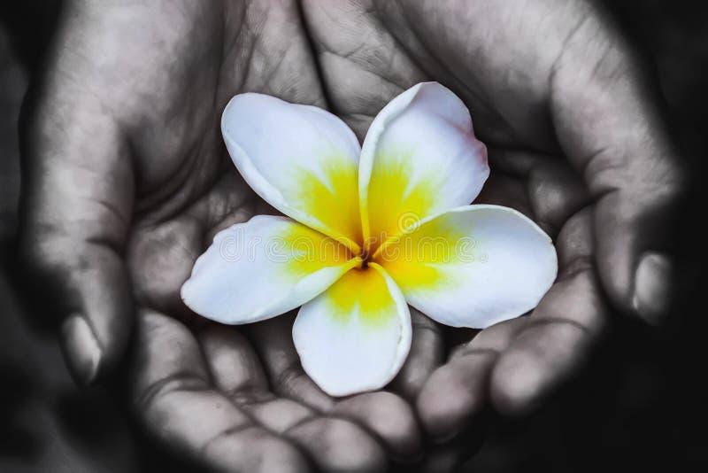 I fiori di Champa nelle mani di childrenIt è un'immagine della mano di un bambino che crea una cresta in bianco e nero ed i fiori immagine stock