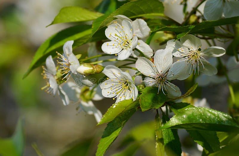 Download I fiori di ciliegia fotografia stock. Immagine di polline - 55355212