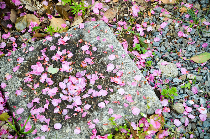 I fiori di ciliegia caduti in Hirano Jinja shrine, Kyoto fotografia stock libera da diritti