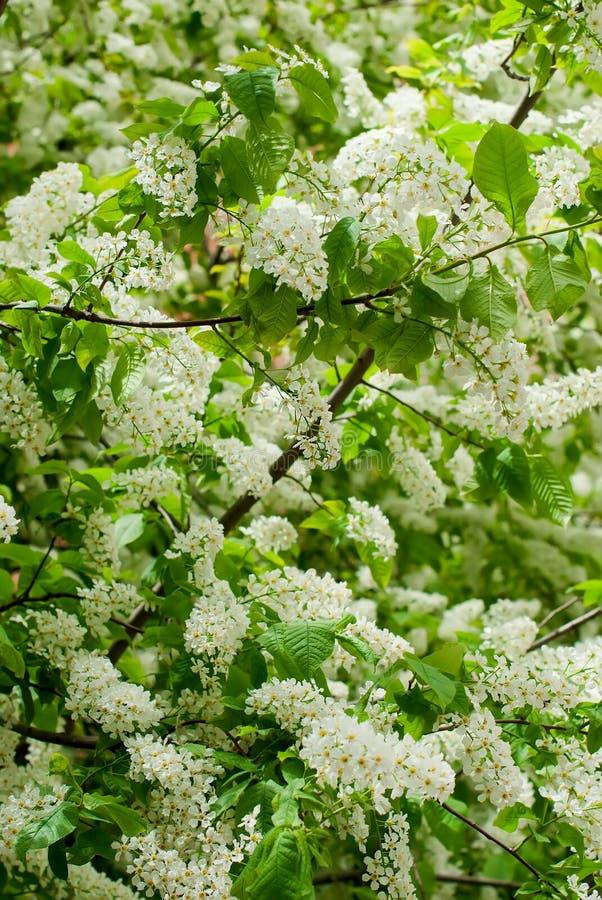 I fiori di ciliegia dell'uccello dei rami immagini stock