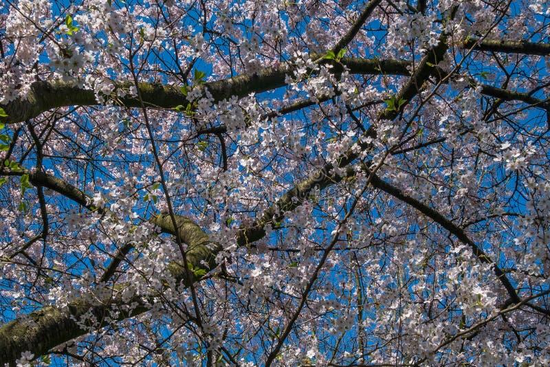 I fiori di ciliegia della primavera sono pieni degli alberi, sparpagliato con cielo blu Bello immagine stock