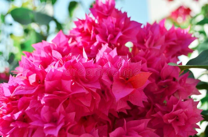 I fiori di fioritura di rosa si chiudono su summertime fotografia stock
