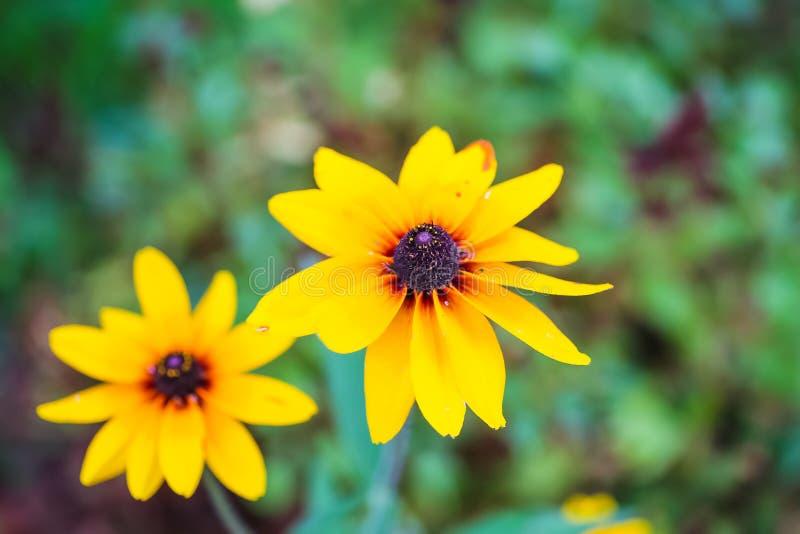 I fiori di giallo simili alle margherite si sviluppano immagine download i fiori di giallo simili alle margherite si sviluppano immagine stock immagine di background altavistaventures Image collections
