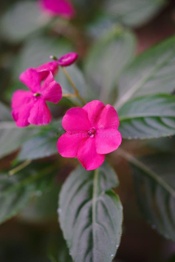 I fiori di impazienza sono aumentato impatiens walleriana fotografia stock