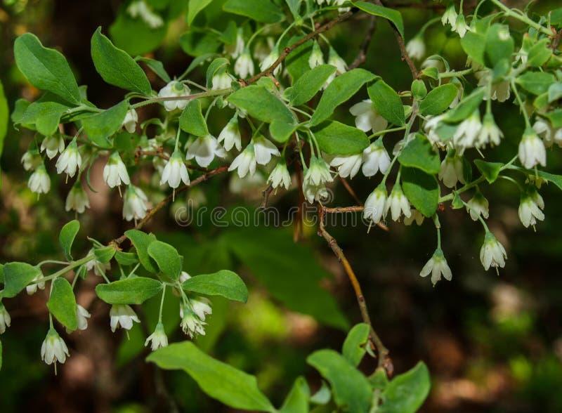 I fiori di Leucojum Vernum balzano fiocco di neve fotografie stock