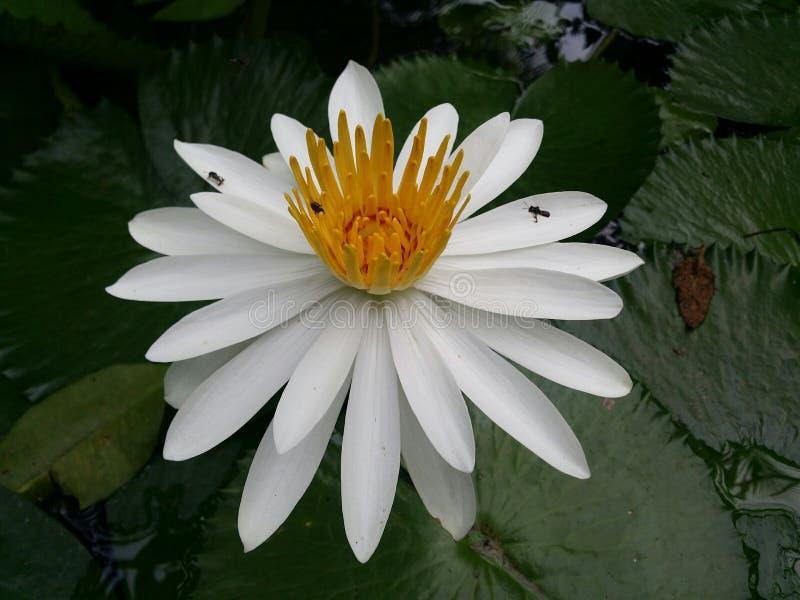 I fiori di loto bianco sono piena fioritura, molto bella fotografia stock libera da diritti