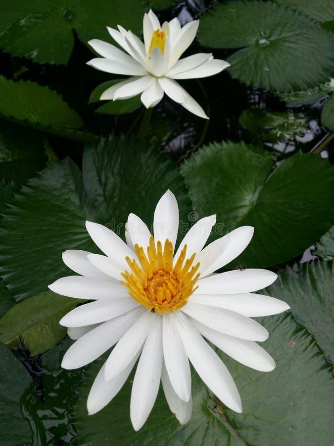 I fiori di loto bianco sono piena fioritura, molto bella immagini stock libere da diritti