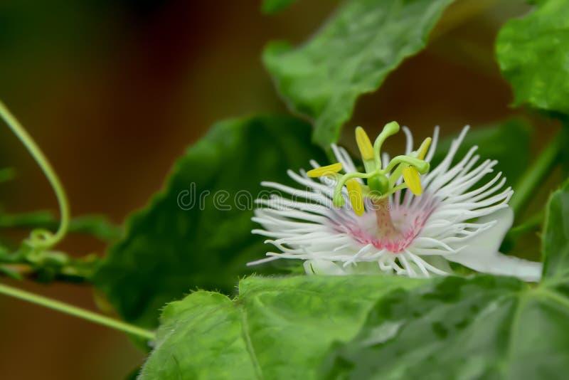 I fiori di luglio stanno fiorendo, che fa il polline chiaramente immagini stock