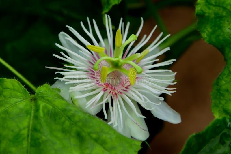 I fiori di luglio stanno fiorendo, che fa il polline chiaramente fotografia stock libera da diritti