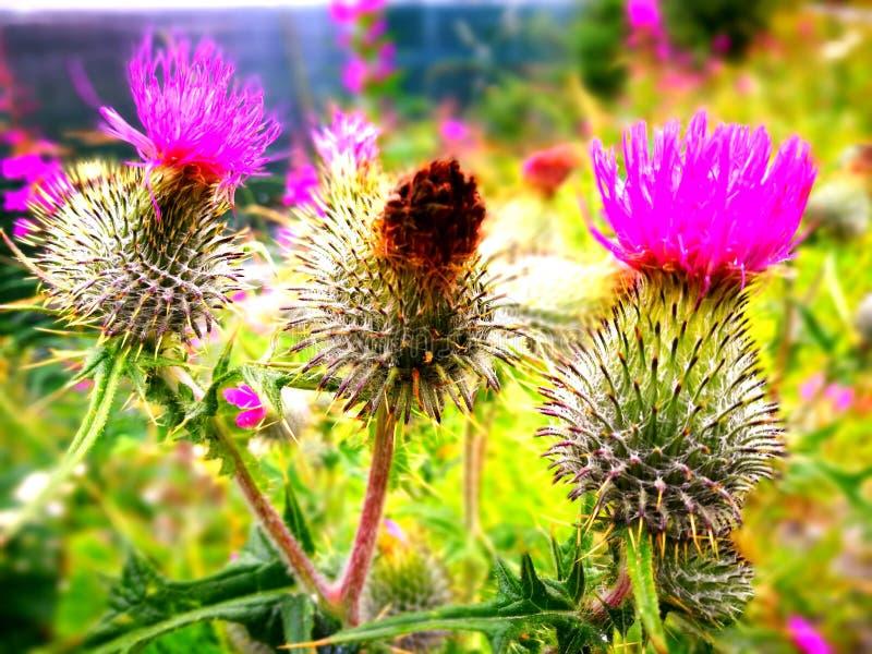 I fiori di mignolo del cardo selvatico fotografia stock