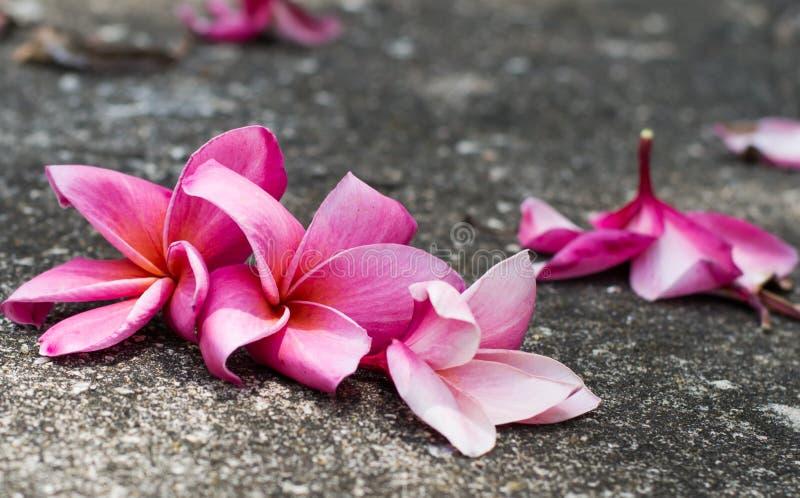 I fiori di plumeria sta cadendo sul pavimento fotografia stock libera da diritti