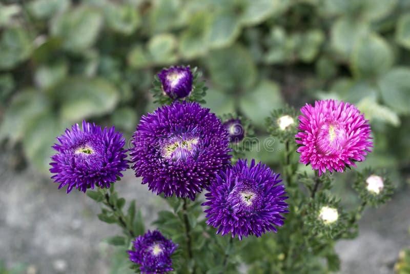 I fiori di Violet Asters ed un aster rosa si sviluppano in giardino, cima fotografia stock libera da diritti