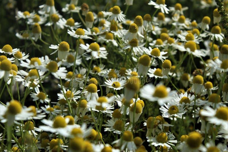 I fiori e le erbe della camomilla sbocciano meravigliosamente fotografie stock libere da diritti