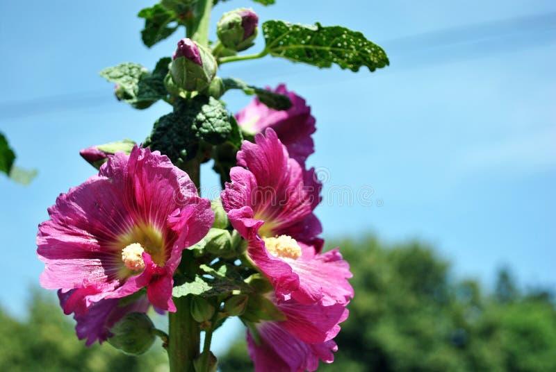 I fiori e le foglie porpora della malva sul gambo, si chiudono sul dettaglio, sugli alberi confusi molli e sul cielo blu immagine stock