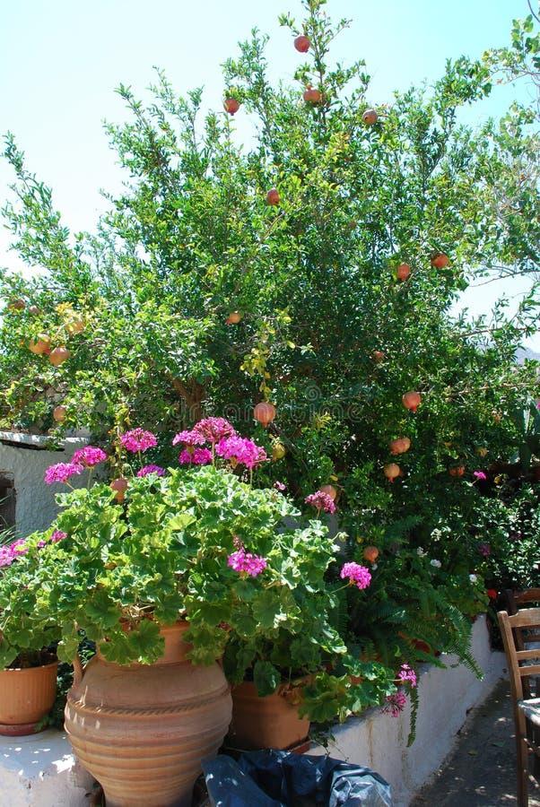 I fiori ed il melograno rosa si sviluppano in un giardino sotto un cielo blu e un sole caldo fotografie stock