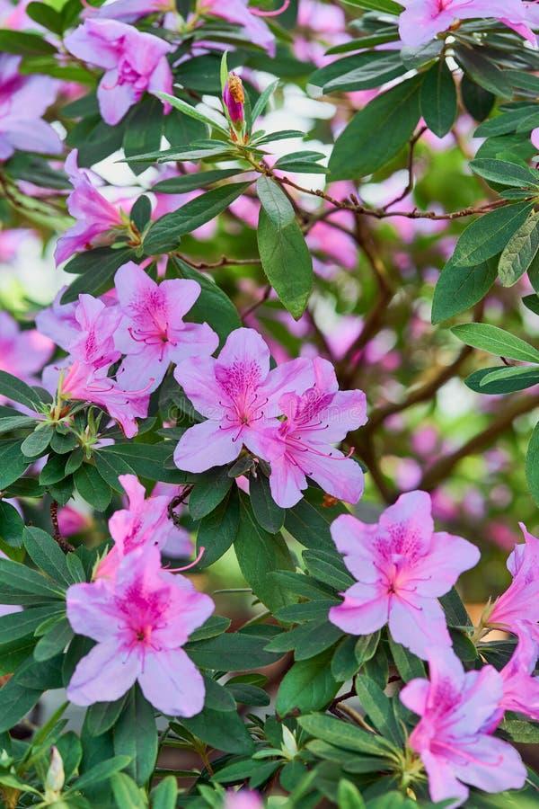 I fiori fioriscono azalee, germogli rosa del rododendro su fondo verde immagine stock