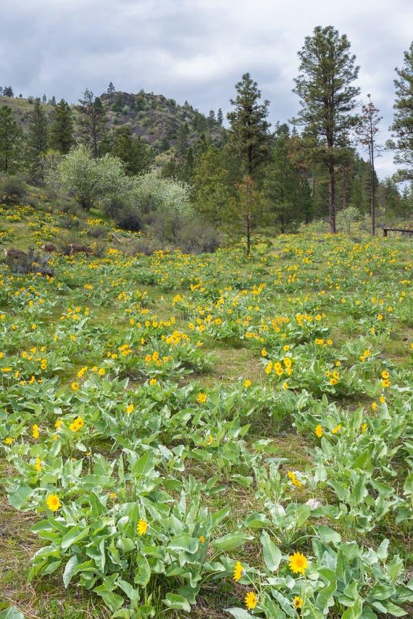 I fiori gialli del balsamroot del arrowleaf tappezzano il lato di una montagna nella primavera immagini stock