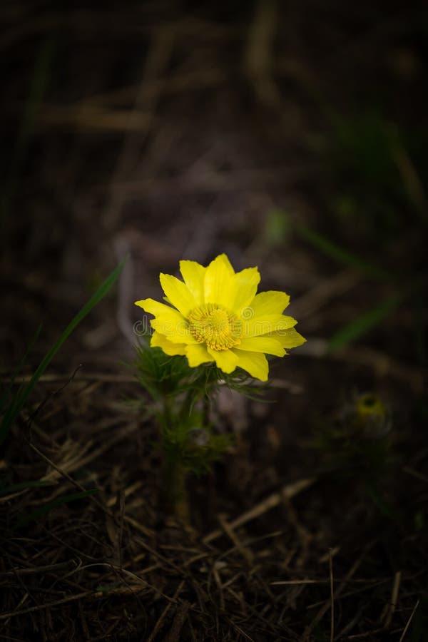 I fiori gialli del ` s del fagiano della molla osservano l'adonis vernalis Vista generale del gruppo di angiosperme sull'aiola fotografie stock libere da diritti