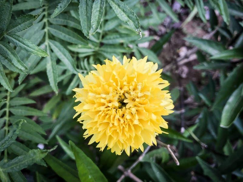 I fiori gialli del tagete si sono piantati immagini stock libere da diritti