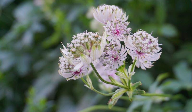 I fiori importanti di bella e astrantia delicata si chiudono su Nome comune grande Masterwort immagini stock libere da diritti