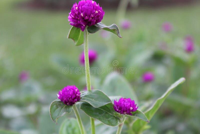 I fiori porpora si chiudono su fotografia stock