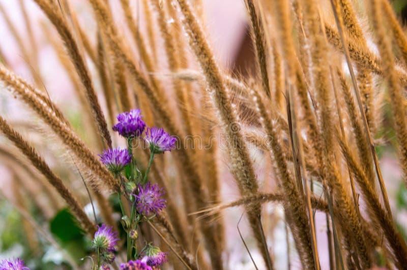 I fiori porpora si sviluppano davanti all'erba asciutta del grano fotografia stock