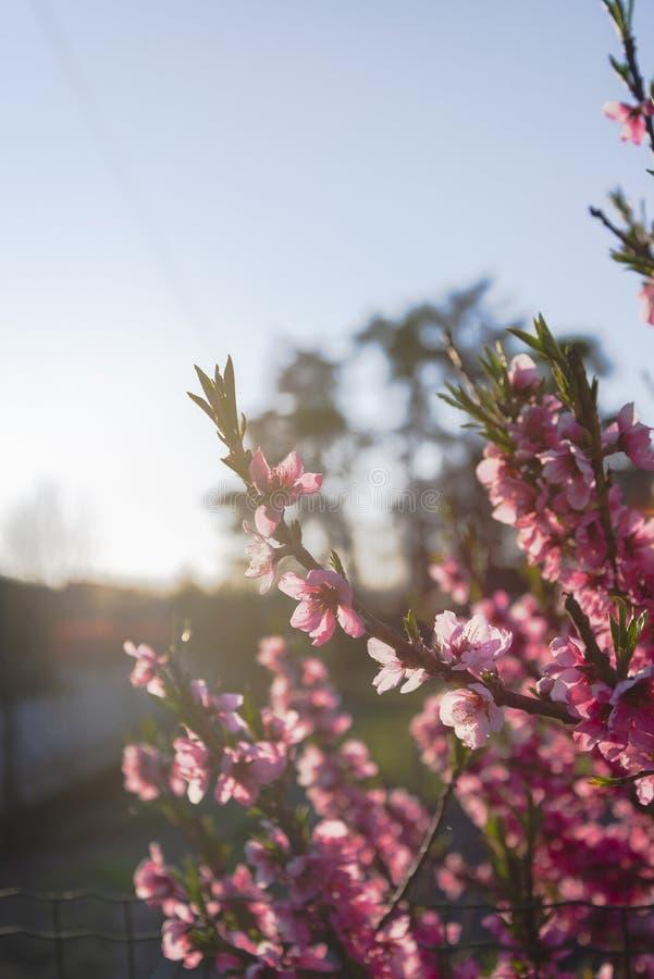 I fiori rosa appoggiano il sole leggero immagine stock