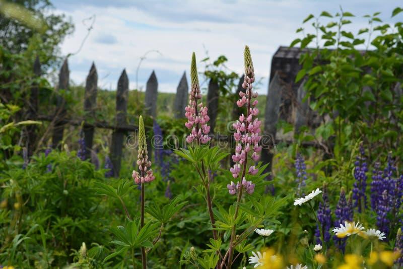 I fiori rosa del lupino si sviluppano nel giardino summertime fotografia stock