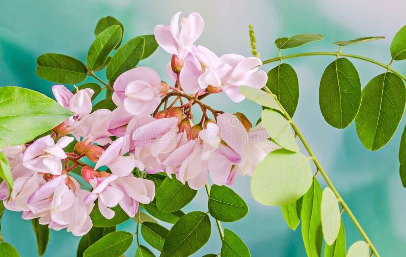 I fiori rosa dell'albero di robinia pseudoacacia, sanno come locusta nera, GE immagine stock libera da diritti