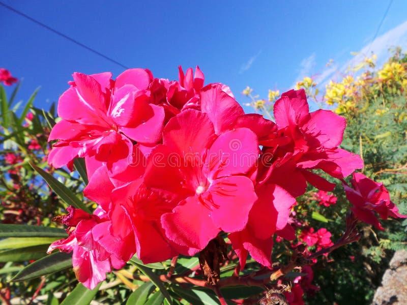 I fiori rosa dell'oleandro del fiore si chiudono su immagine stock