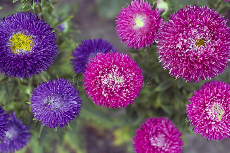I fiori rosa e viola degli aster si sviluppano in giardino, colori d'annata fotografie stock libere da diritti