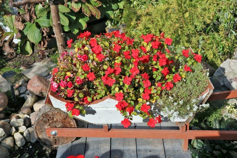 I fiori rossi della varia estate si sviluppano sul giardino del villaggio immagine stock