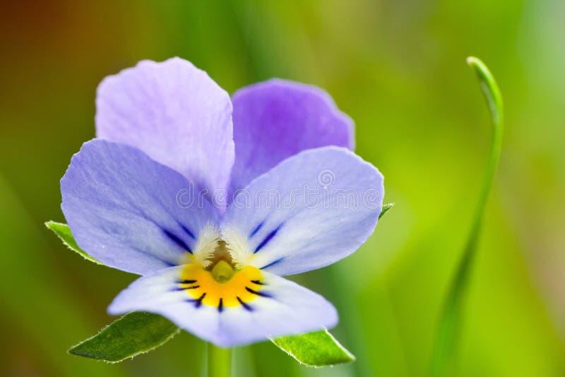 I fiori selvaggi delle viole della molla si chiudono su fotografia stock
