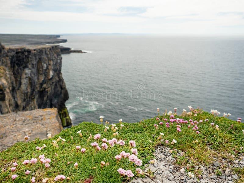 I fiori si sviluppano su una scogliera e sull'Oceano Atlantico, cielo nuvoloso, Inishmore, isole di Aran, Irlanda, attrazione di  fotografia stock
