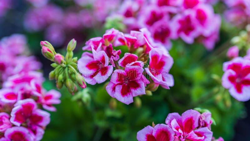 I fiori si sviluppano in un letto nel giardino sull'azienda agricola immagine stock