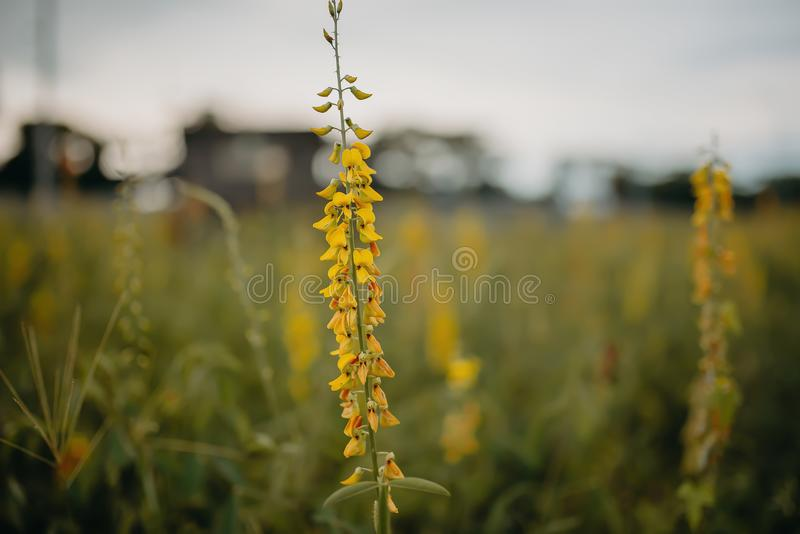 I fiori sono gialli nella sera con il tramonto immagini stock