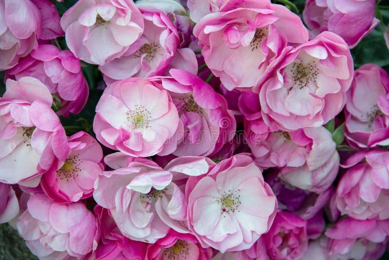 i fiori strutturano il fondo con le rose rosa immagini stock