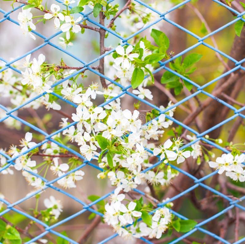 I fiori su un albero fuori del recintano la molla fotografia stock