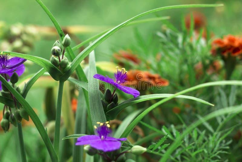 I fiori viola con tradescantia gialla delle antere di estate fanno il giardinaggio fotografie stock libere da diritti